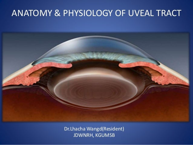 Uveal tract anatomy