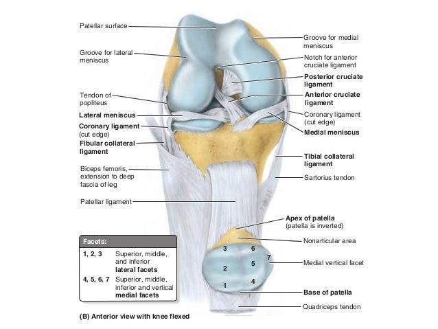 Coronary Ligament Related Keywords - Coronary Ligament ...