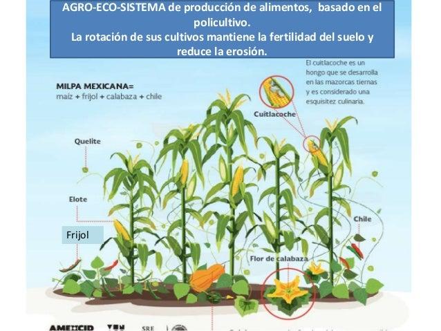 Frijol AGRO-ECO-SISTEMA de producción de alimentos, basado en el policultivo. La rotación de sus cultivos mantiene la fert...