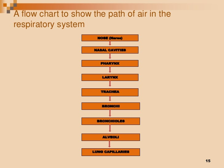 The Flow of Air Through the Respiratory System… – EETT ...