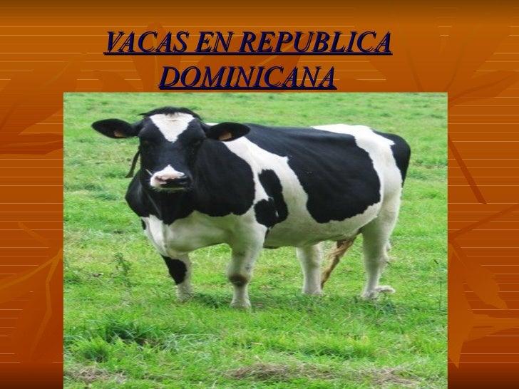 VACAS EN REPUBLICA DOMINICANA