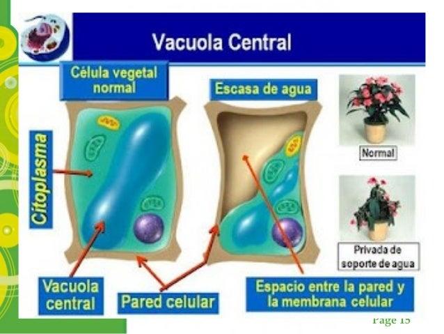 Page 15 Vacuolas central y la presión de turgencia en las células vegetales