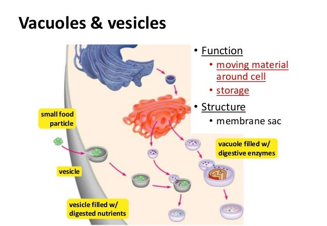 vacuoles and vesicles Comparing transport vescicles, lysosomes, and vacuoles standard/big idea: biological systems interact, and these systems and their interactions possess complex.