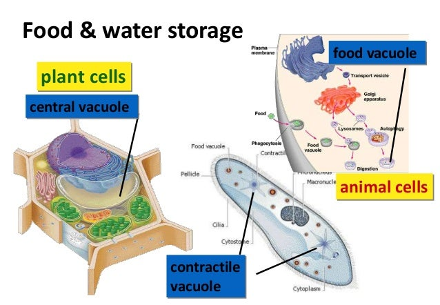 central vacuole structure - 638×442