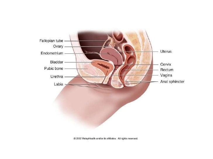 anatomia de la Vagina