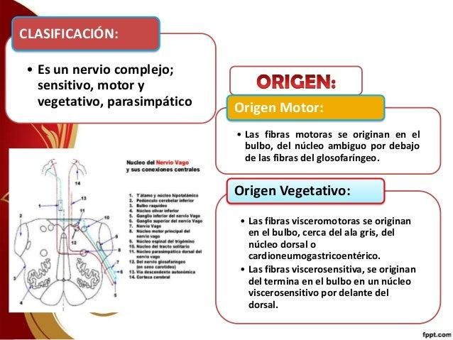 Nervio Vago o Neumogastrico