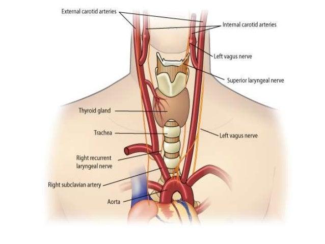 vagus nerve, Sphenoid