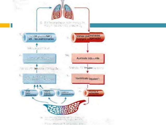Valvulas cardiacas y circulacion - Medias para la circulacion ...