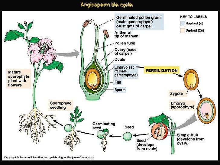 Lab 6 - Angiosperms