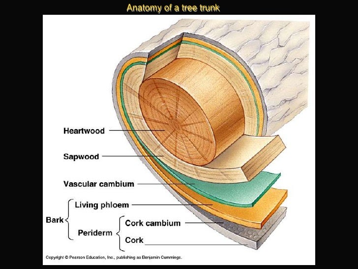 Outstanding Anatomy Of A Tree Trunk Embellishment Anatomy And