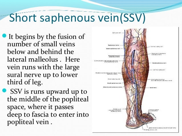 In the lower third of the calf it lies on the deep fascia and cover by skin and superficial fascia . In the middle third...