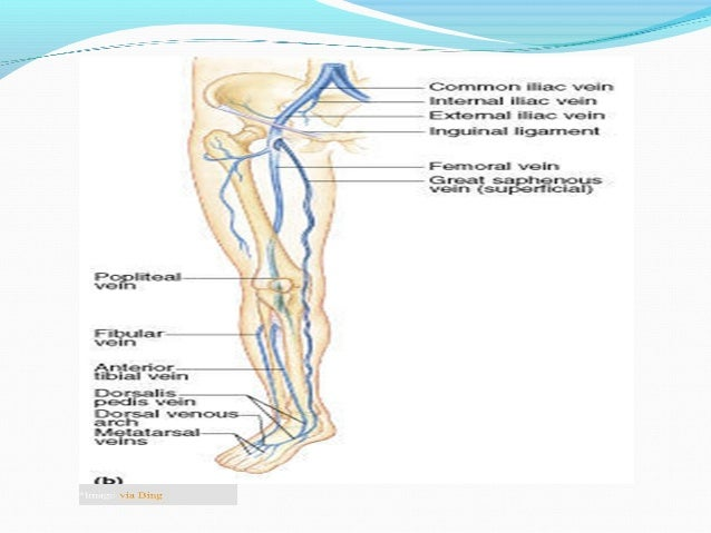 1. Indirect perforating veins:  These consist of small superficial veins which penetrate the deep fascia to connect with ...