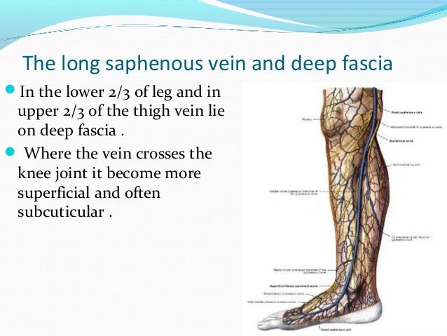 The long saphenous vein and deep fascia In the lower 2/3 of leg and in upper 2/3 of the thigh vein lie on deep fascia . ...