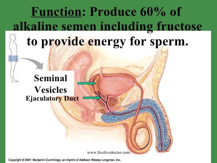 produces testosterone