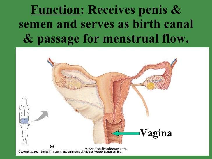 Function Penis 72