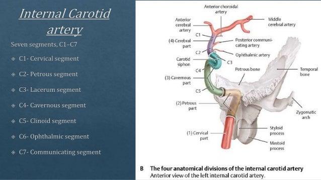 Radiological Vascular Anatomy Of Brain