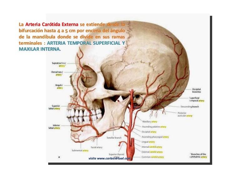 Lujo Arteria Carótida Interna Izquierda Elaboración - Anatomía de ...