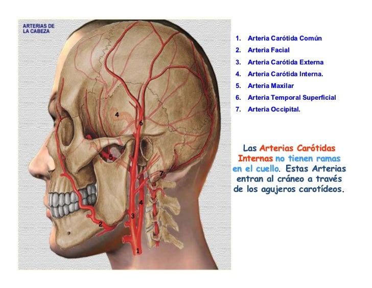 Vascularizacion De La Cabeza Y Cuello
