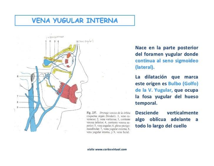 Moderno Anatomía Bulbo Yugular Embellecimiento - Anatomía de Las ...