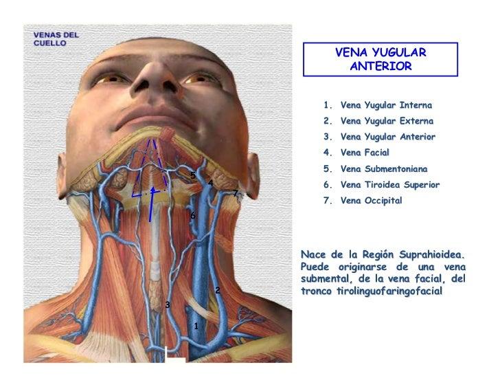Vistoso Anatomía De Las Venas Del Cuello Festooning - Anatomía de ...