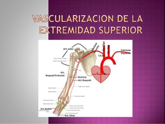•El eje arterial del miembro superior, continuación de la arteria subclavia, atraviesa la región de la axila y se sitúa in...