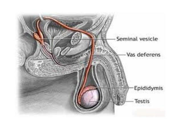 Vas deferens Seminal vesicle Ejaculatory ducts