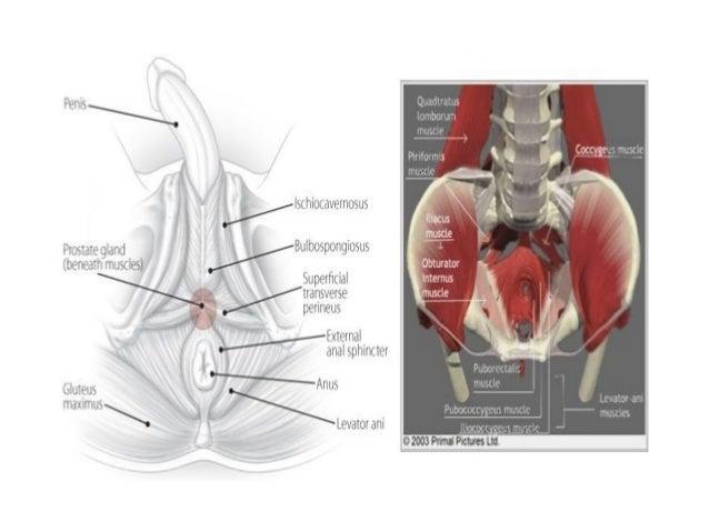 Vas Deferens Seminal Vesicle Ejaculatory Ducts