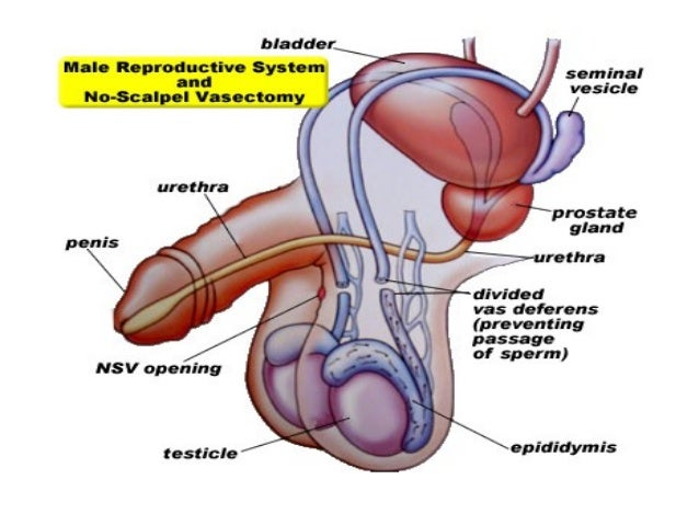 vas deferens seminal vesicle ejaculatory ducts, Human Body