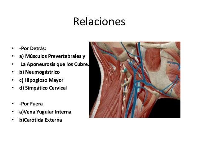 • -Por dentro a) Faringe b) Arteria Faríngea Inferior c) Nervio Laríngeo Superior • -Por Delante a) Carótida Externa b) Mú...