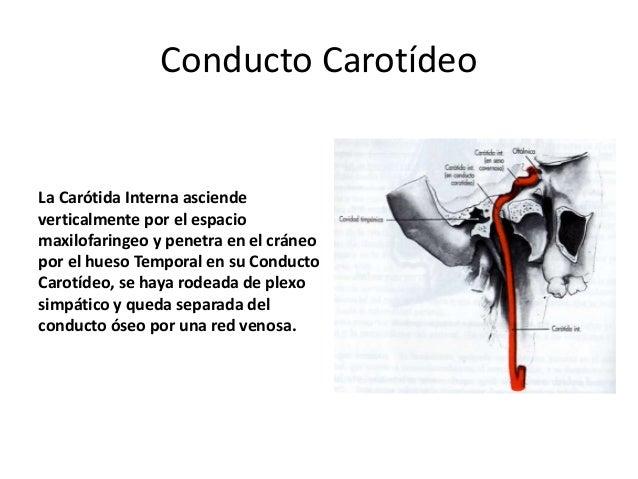 • Se forma en la base del cerebro por la unión de los vasos vertebrobasilares y las ramas de la carótida interna • Partici...