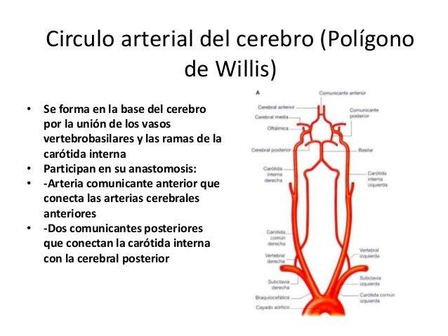 Arteria faríngea ascendente • 1ª o 2ª rama de carótida externa. • Asciende por la faringe en la profundidad de la carótida...