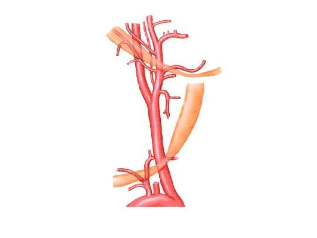 Arteria tiroídea superior • La primera de las ramas anteriores de carótida externa. • Trayecto antero-inferior,en laprofun...