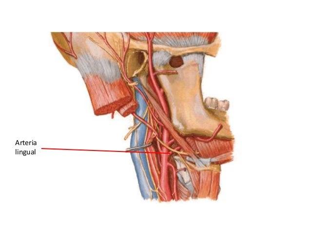 Arteria occipital • Nace de la cara posterior de la carótida externa,encima del origen de la facial. • Dirección posterior...
