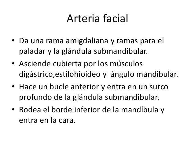 Arteria auricular posterior • Rama posterior de la carótida externa. • Asciende entre conducto auditivo externo y la apófi...