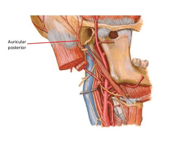 ARTERIA SUBCLAVIA • Colaterales: – Ascendentes: • Vertebrales • Tiroidea inferior – Descendente • Mamaria interna • Interc...