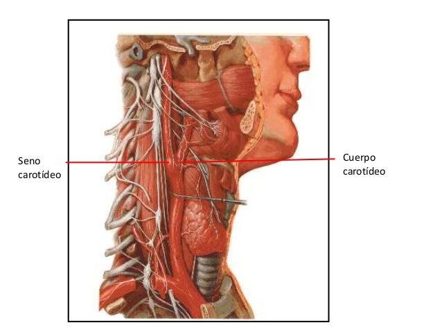 • -Procede de la arterias carótidas comunes ya que se encuentran en el lado derecho e izquierdo del cuello. • Se encuentra...