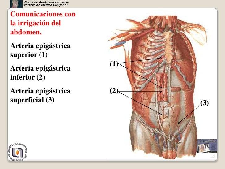 Encantador Anatomía De La Arteria Epigástrica Inferior Molde ...