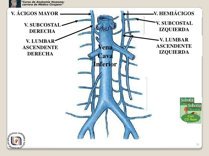Vasos nerviospared torax