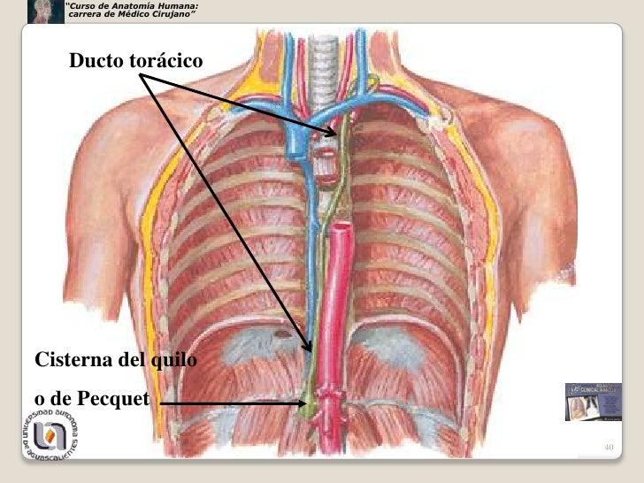 Lujoso Anatomía Humana Tórax Adorno - Anatomía de Las Imágenesdel ...