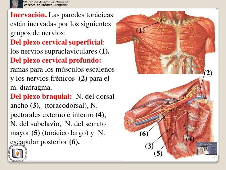 Perfecto Tórax Anatomía Muscular Imágenes - Anatomía de Las ...