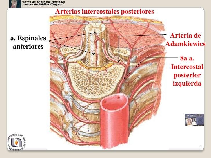 Lujoso Anatomía De La Arteria Intercostal Patrón - Anatomía de Las ...
