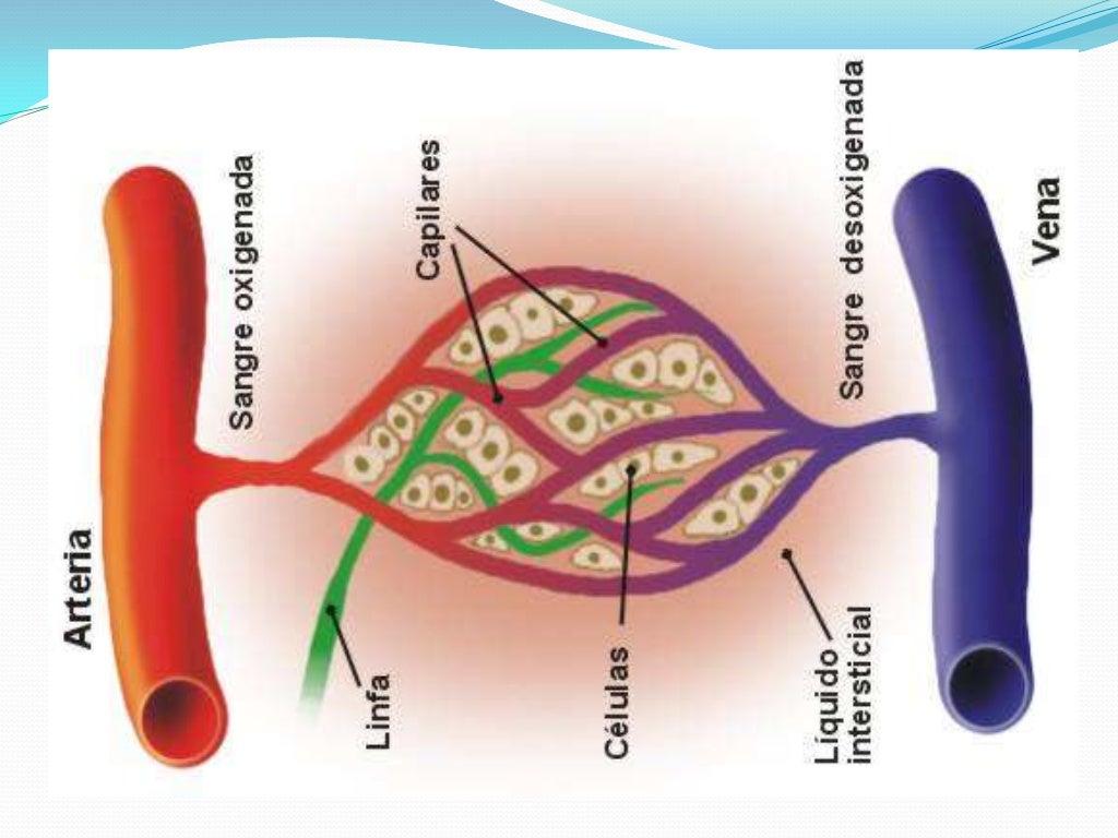 Circuito Sanguineo : Vasos sanguineos