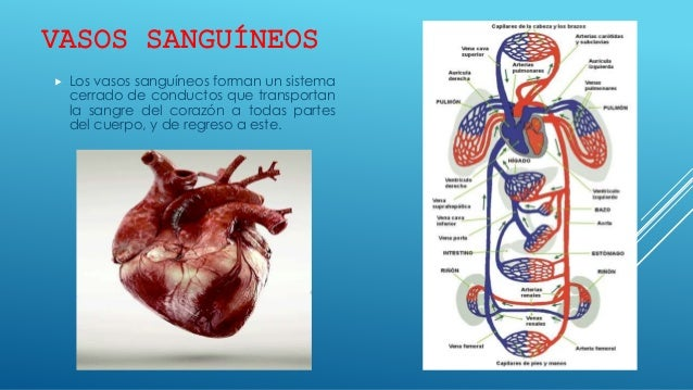 Vasos sanguíneos y sistema linfático generalidades