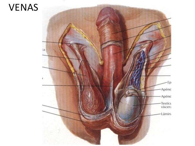 Irrigación e inervación del epidídimo y testículo.