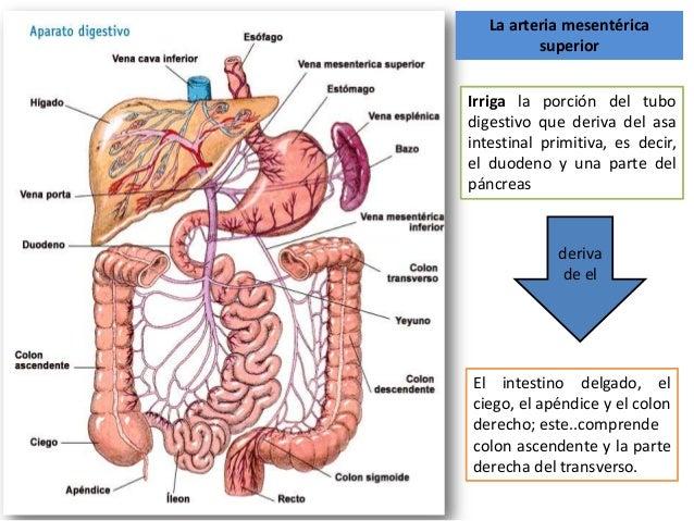 Vasos y nervios del yuyenoileon arteria mesenterica superior