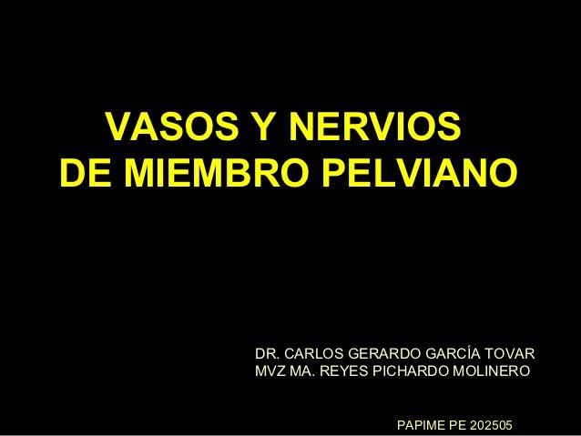 VASOS Y NERVIOSDE MIEMBRO PELVIANO        DR. CARLOS GERARDO GARCÍA TOVAR        MVZ MA. REYES PICHARDO MOLINERO          ...