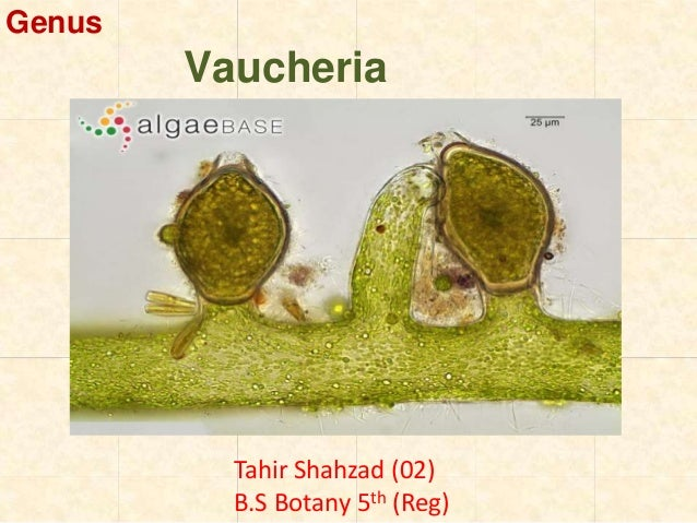 Vaucheria asexual reproduction pictures