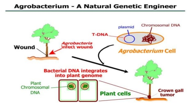 Genne Transfer And Transgenic Cotton Soybean Corn Mustard
