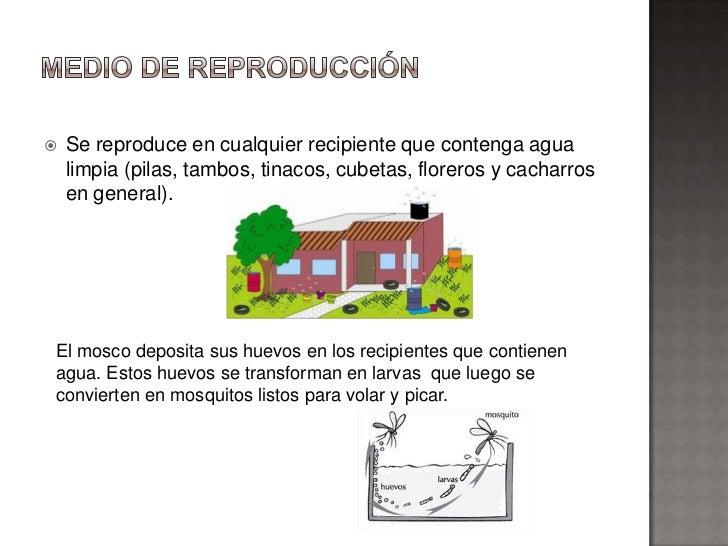    Se reproduce en cualquier recipiente que contenga agua    limpia (pilas, tambos, tinacos, cubetas, floreros y cacharro...