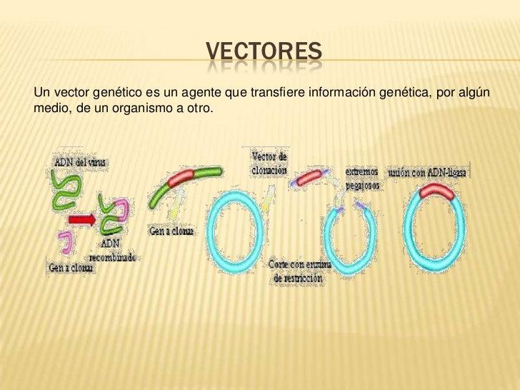 VECTORES<br />Un vector genético es un agente que transfiere información genética, por algún medio, de un organismo a otro...